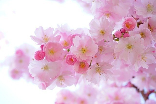 Pink is represented by cherry blossoms