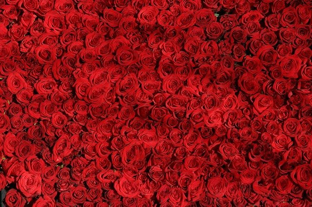 Roses represent the color red
